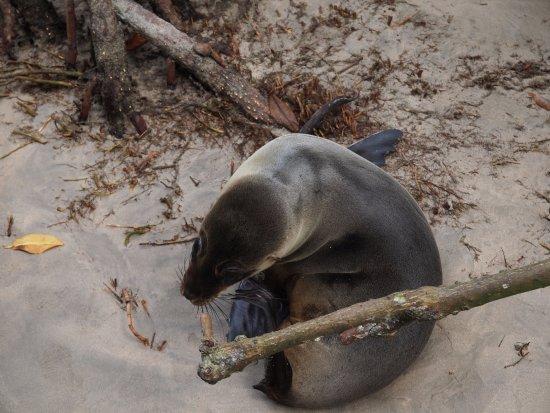 Concha de Perla: Zeehond onderweg
