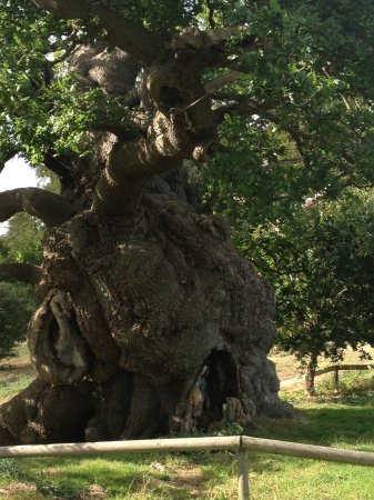 Hatfield, UK: Amazing Oak