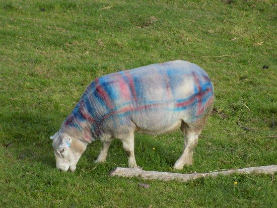 Comrie, UK: 'Tartan' Sheep a Auchingarricht