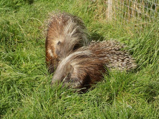 Comrie, UK: Porcupines at Auchingarrich