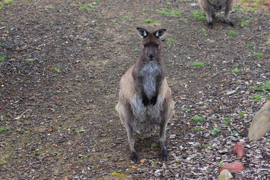 Seddon, Australien: Kangaroo waiting to be hand fed outside the door.