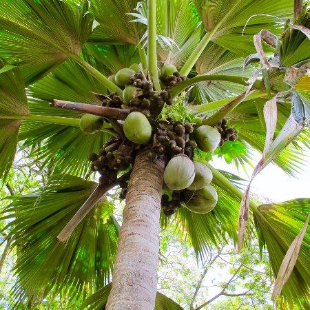 Victoria, Seychellene: Coco de mer