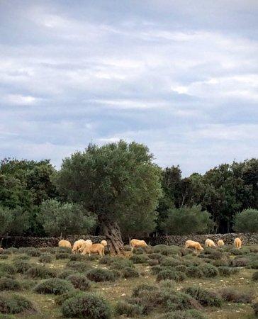 Omisalj, Croacia: Sheep around an olive tree in Nerezine