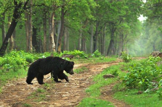 Саураха, Непал: Bear