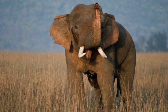 Саураха, Непал: Asiatic Wild Elephant