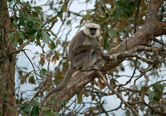 Саураха, Непал: Grey Langur