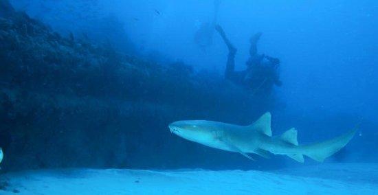 Nurse shark cruising in front of Belzona, Barnacle Bill on a