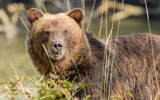 Campbell River, Kanada: Close up Grizzly