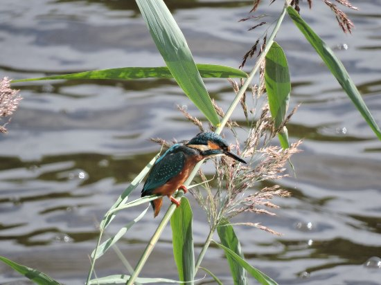 Northwich, UK: Kingfisher seen from the boat landing area
