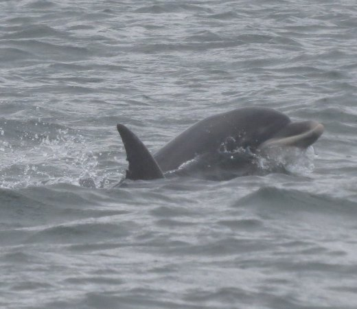 Cromarty, UK: Dolphins galore
