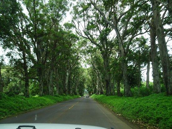 Kalaheo, Hawái: Tunnel of Trees_large.jpg