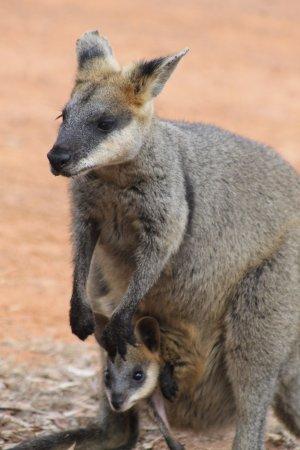 Undara Volcanic National Park, ออสเตรเลีย: Walliby