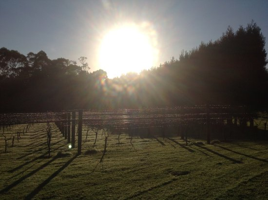Kerikeri, New Zealand: Sunrise over the vines. Award winning Pinot Gris