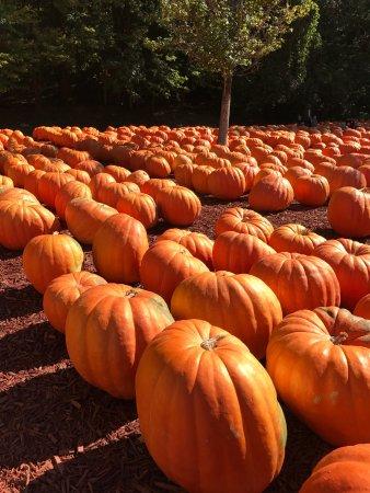 Dawsonville, GA: Big Pumpkins!