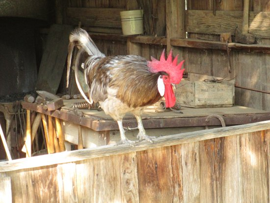 Stonewall, TX: Mr,\. Rooster at the barn
