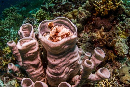 Tawala, Filipina: Scorpionfish luring for its prey in a tube sponge.