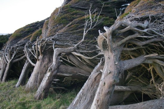 Southland Region, Nowa Zelandia: Ever wind shaped trees at Colac Bay - Sept 2016