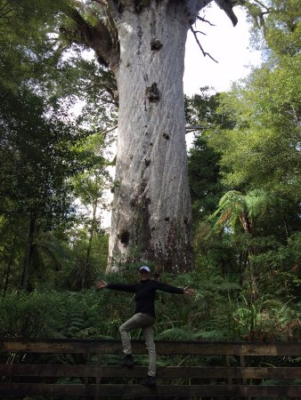 Tane Mahuta. tallest Kauri tree in the world, Waipoua Forest