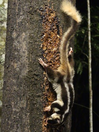 Atherton, Australia: Striped Possum