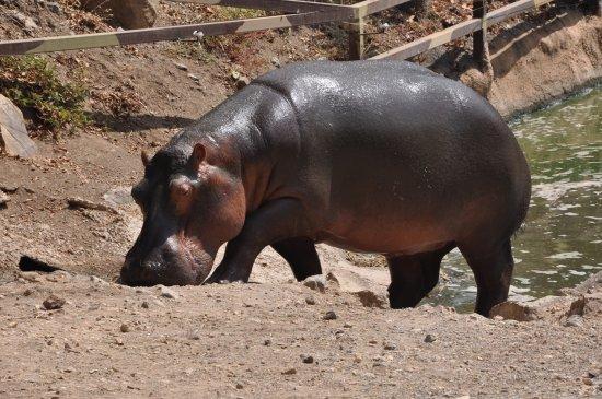 Selwo Aventura: Hippopotame