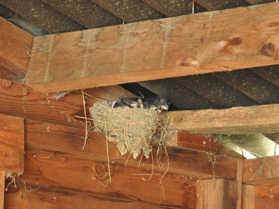 Axminster, UK: The last batch of swallows down in the stables