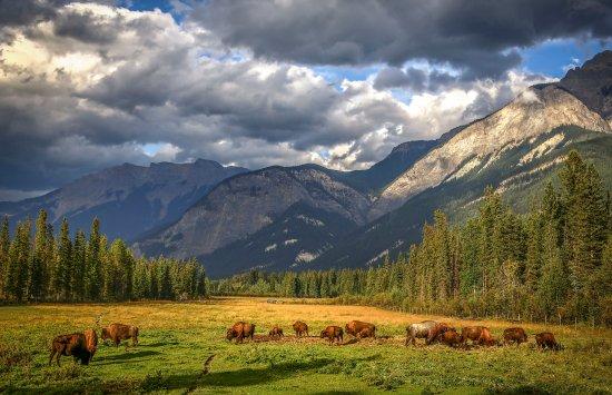Golden, Canada: Buffalo Ranch ~ Cabin by the Creek & Buffalo Tours