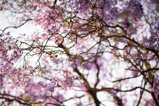 Kingsmead Guesthouse: Jacaranda trees were in bloom when I arrived at the end of September.