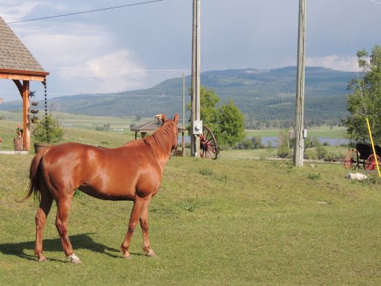 Kamloops, Canada: Ginger is a lovely running quarter horse enjoying the back yard