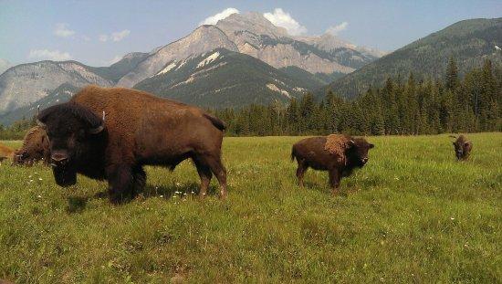 Rocky Mountain Buffalo Ranch & Guest Cottage Buffalo Tours: Chester Jr. He's 4, he won't be full grown till he's 10.