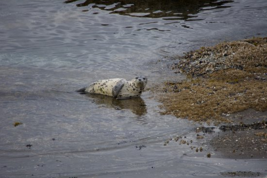 Saturna Island, Canadá: Lots of seals.