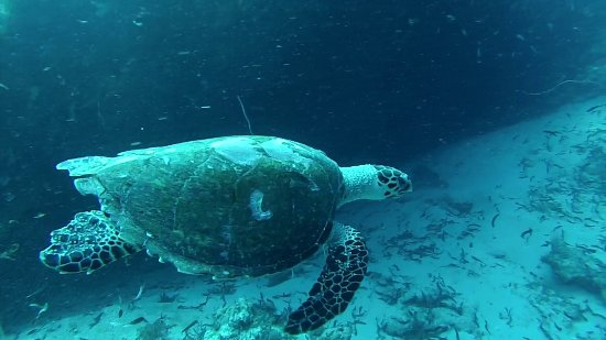 Quirimbas Archipelago, Mosambik: Tartaruga al Cliff of Insanity diving point