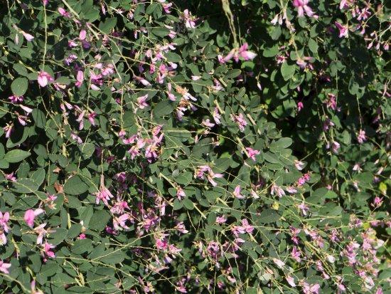 Manteo, Carolina del Norte: Japanese bush clover (Lespedeza thunbergii)
