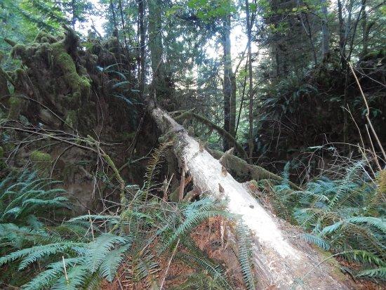 Port Alberni, Canadá: Tree roots