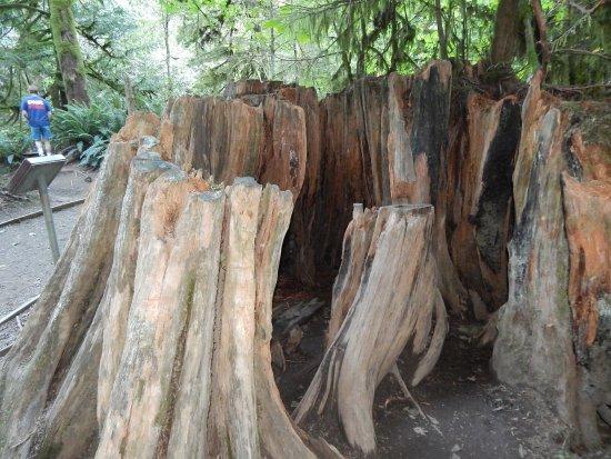 Port Alberni, Canadá: Hollowed stump