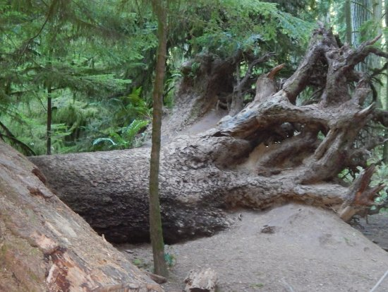 Port Alberni, Canada: Old tree roots