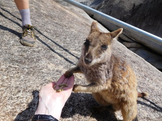 Mareeba, Australia: Wallaby feeding from my hand