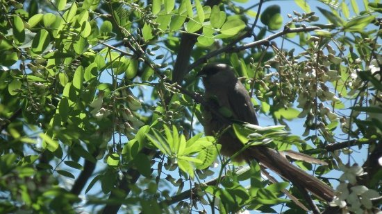 Resthaven Guest House: Speckled Mousebird