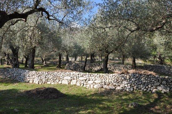 Olivi patriarchi di variet licinia dal quale si traeva l - Terrazzamenti giardino ...
