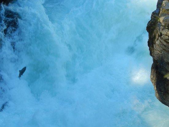 พอร์ตอัลเบอร์นี, แคนาดา: Salmon jumping!