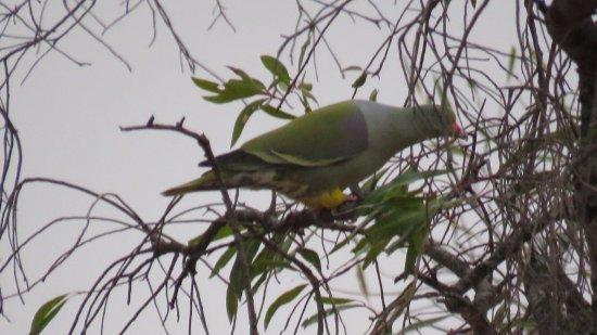 Badplaas, Sydafrika: African Green Pigeon