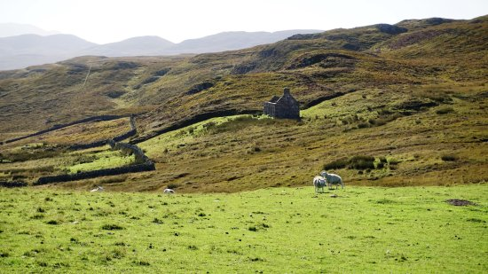 Kinlochbervie, UK: Ruins and sheep on the way down to the beach