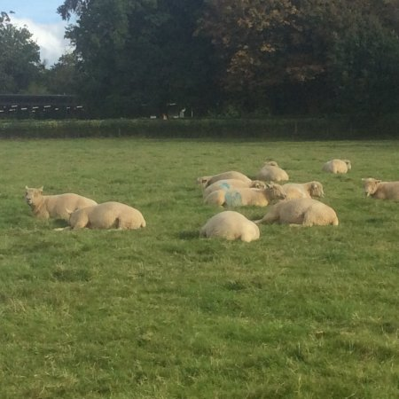 Haywards Heath, UK: Not a farm, but sheep welcome