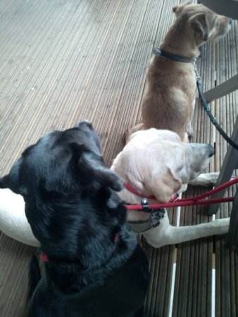 Great Ayton, UK: My 3 canine companions watching the horses go past the cafe :)