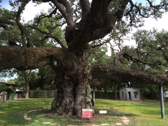 Columbus, TX: Second Largest Live Oak in Texas