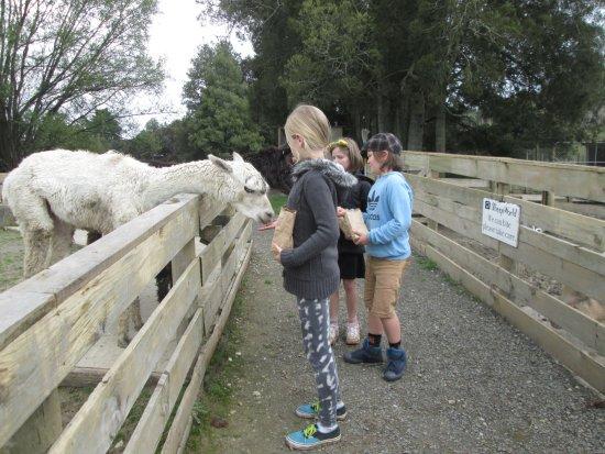 Warkworth, นิวซีแลนด์: Feeding the alpacas.