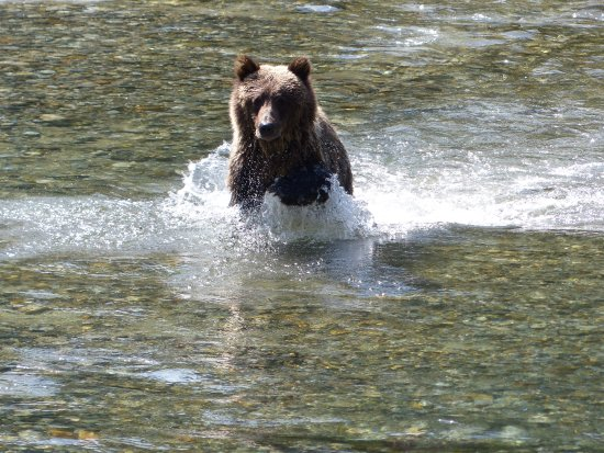 Campbell River, Kanada: This bear was chasing chum salmon in the river. He eventually caught lunch!