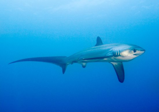 Thresher Shark Divers: Thresher sharks can be seen every day!