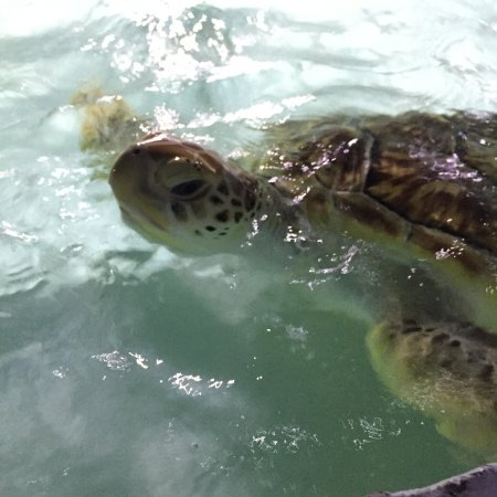 Samui Aquarium and Tiger Zoo: Sea turtle being held in a pool not much larger than a spa bath, along with sharks