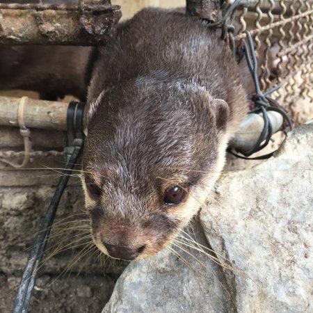 Samui Aquarium and Tiger Zoo: Otter desparate to escape his tiny cage