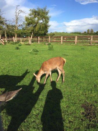 Athlone, Ierland: deer